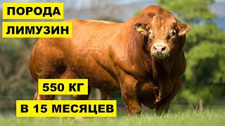 Разведение коров породы Лимузин как бизнес идея   КРС   Корова Лимузин