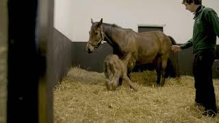 Foaling Video 2017 (Short)
