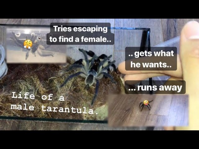 DESPERATE male TARANTULA gets what he wants.. then RUNS AWAY !!!