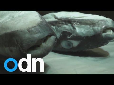 Deadly fugu pufferfish found in Crimean waters