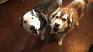 Siberian Huskies Reba & Rummy Love To Sing