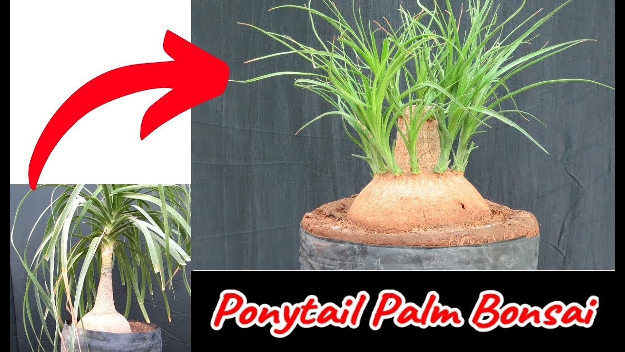 Ponytail Palm Bonsai By Chopping With 60 Days Update Youtube