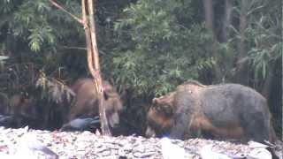 Гигантский медведь-людоед
