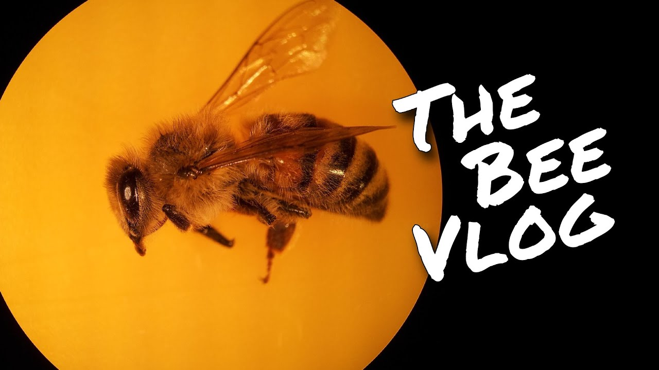 Honey Bee Dissection - Bee Vlog #166 - Apr 4, 2015 - YouTube