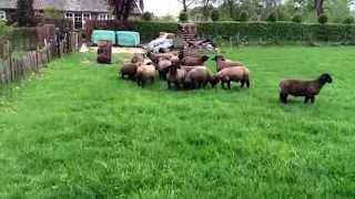 Lambs 2014