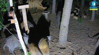 🐗 Dziki przepędzają z karmiska lochę z młodymi