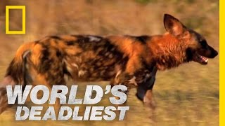 Killer Caretakers: Painted Dogs | World's Deadliest