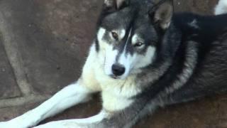 Rocky The Siberian Husky - Brown & Blue Eyes