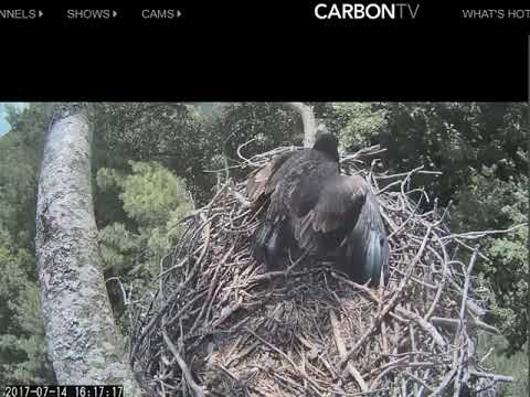 Beulah Eagle Cam 07 14 2017 Not So Fast Mom That's Mine! Thanks Dad!