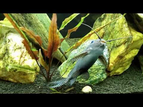 African Featherfin Squeaker Catfish Chillin IIn My 125