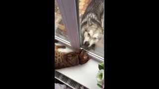 """бенгальский кот и хаски - питомник кошек Lantana Fly  - бенгальские котята """"Cattery Bengal Cats"""""""