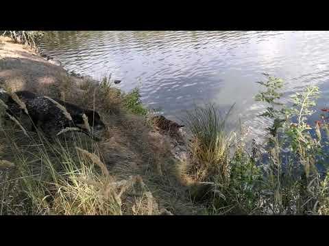 Rumba Dell'Oltrepo - bracco italiano - duck hunting
