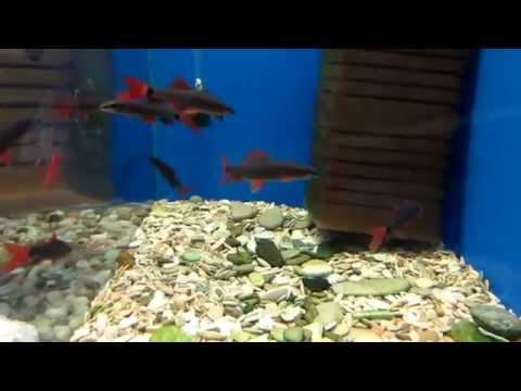 Аквариумные рыбки - Лабео.