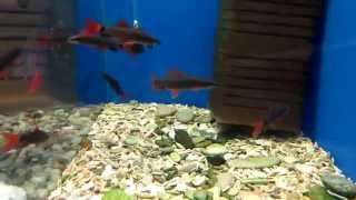 Аквариумные рыбки - Лабео.(Аквариумная рыбка Лабео - содержание и уход. Лабео бывают зеленый, биколор, двухцветный......., 2015-04-14T15:19:34.000Z)