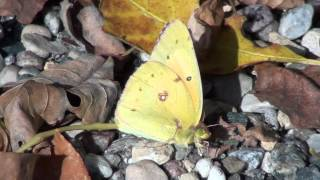 Clouded Sulphur Butterfly (Pieridae: Colias philodice) Lateral View