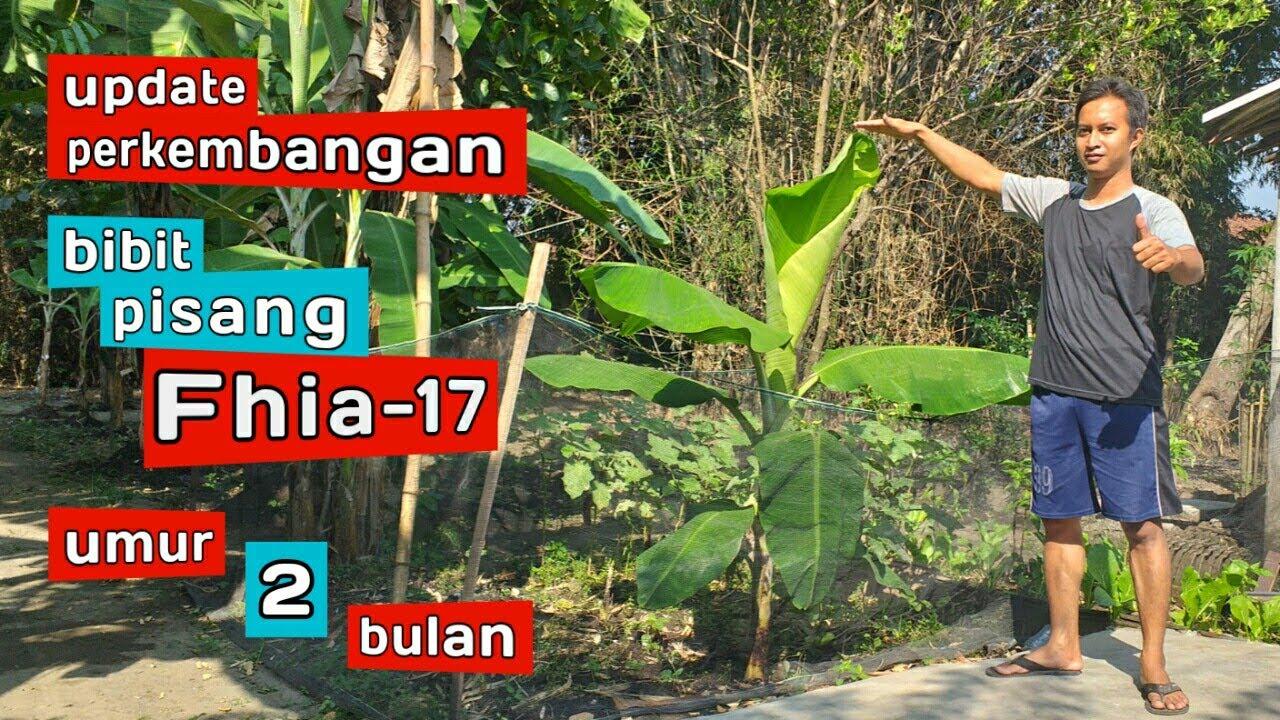 Update Terbaru Bibit Pisang Cavendish Umur 2 Bulan Pisang Fhia 17 Youtube
