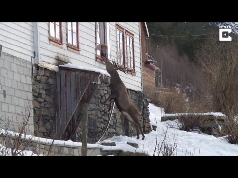 Wild Deer Climbs To Elderly Woman's Window...