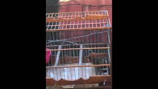 towa towa / Mick - Guyana birds