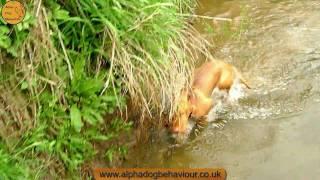 Wire Haired Vizsla And Border Terrier Run Riot. Spring Walk.