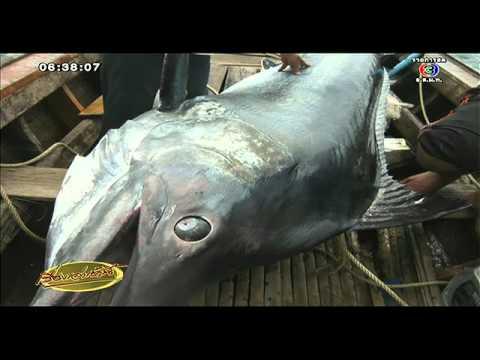 เรื่องเล่าเช้านี้ ตะลึง ชาวระนองออกเรือตกปลาได้ปลากระโทงยักษ์