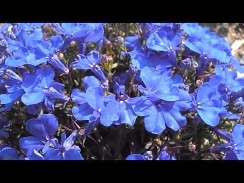 Lobelia: Lobelia erinus (www.riomoros.com)