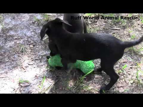 Scottish Wheaten Terrier Chihuahua Mix Puppies Ruff World Animal Rescue Central Fl Youtube