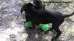 Scottish-Wheaten Terrier/Chihuahua Mix Puppies-Ruff World Animal Rescue, Central FL