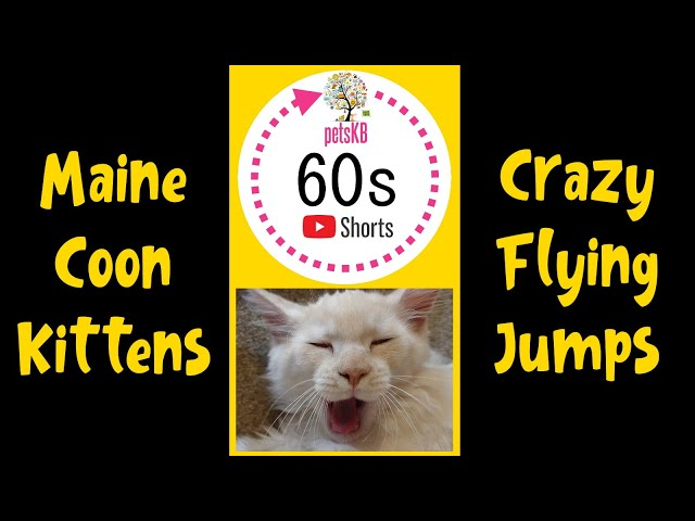 Maine Coon Kitten Flying Jumps #Shorts