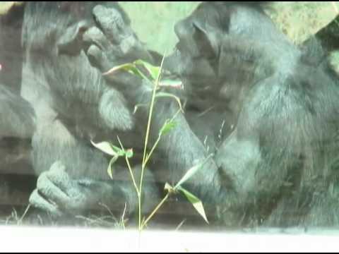 Chimp Dies at Zoo
