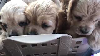 https://www.breeder-navi.jp/dog/64921 子犬販売ならブリーダーナビ|...
