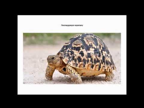Медиаурок «Эти забавные животные – черепахи»