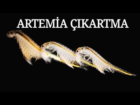 Artemia Çıkartma (Tüm Ayrıntılarıyla Uygulamalı)