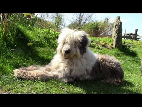 How To Clip An Old English Sheep Dog With A Matted Coat (And How They Get That Way!)