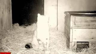 Лесной дальневосточный кот Терней. Первые дни в Центре реабилитации в селе Алексеевка