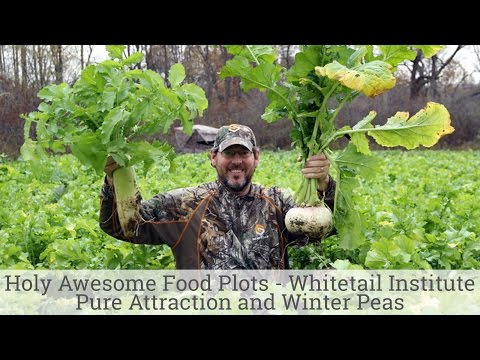 Holy Awesome Food Plots - Whitetail Institute Pure Attraction and Winter Peas