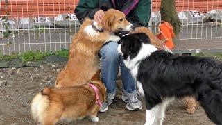 cute puppies 2015 welsh corgi pembroke https://www.youtube.com/play...
