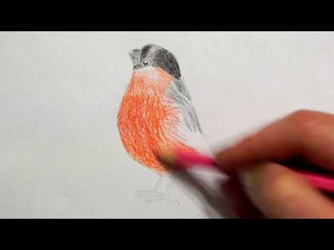 🐤 Gimpel zeichnen lernen - Vogel malen - how to draw bullfinch bird - Как нарисовать снегиря