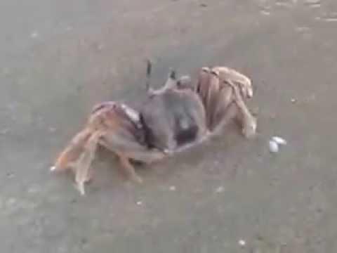 Kepiting laut