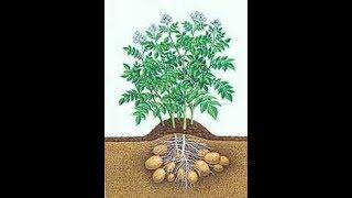 سلسلة البطاطس من الألف الى الياء . الفديو الرابع .. خدمة الارض للزراعة ..