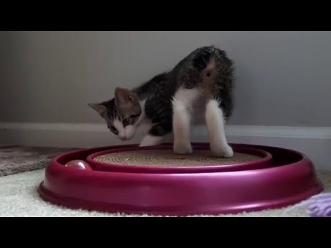 Lexy - The Manx Kitten at Play