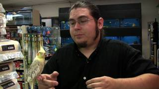 Pet Birds : How to Teach a Pet Cockatiel to Talk