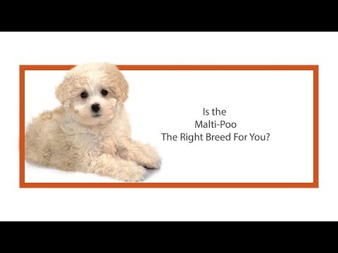 Learn all about the Maltipoo and why they could be your perfect pet!
