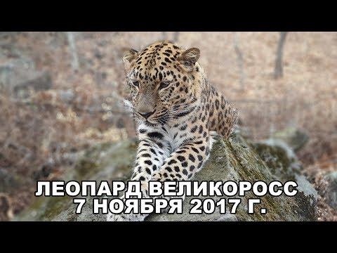 ЛЕОПАРД ВЕЛИКОРОСС 7 НОЯБРЯ 2017 Г.