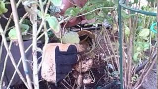 Harvesting Fresh Jicama Root Aka Yam Bean Out Of A Desert Vegetable Garden