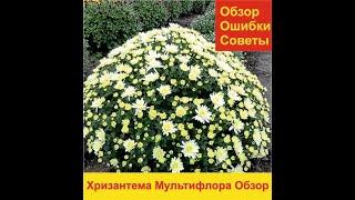 Обзор Хризантема Мультифлора. Зимовка.