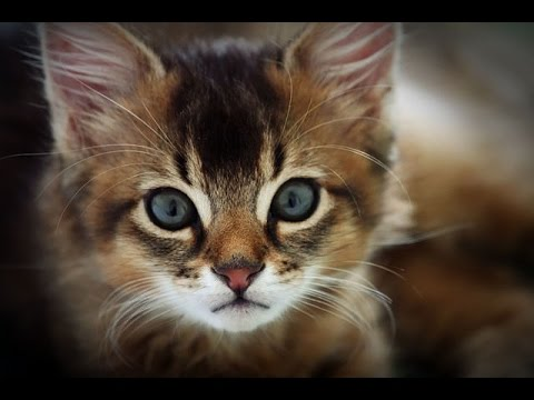 Top 10 Most Friendliest Cat Breeds in the World - Top Ten Stuffs