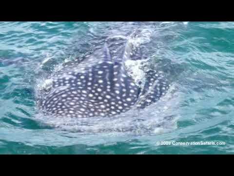 Whale Sharks & Diving - Mafia, Tanzania