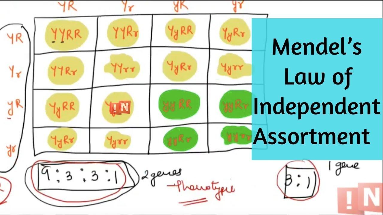 Laws of independent inheritance of signs. Mendels laws. Genetics