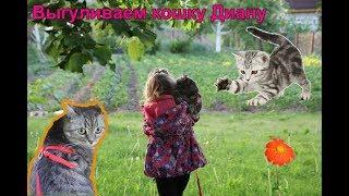 Выгуливаем домашнюю кошку на природе Кошка на поводке Кошечка Диана Дача Лето 2017
