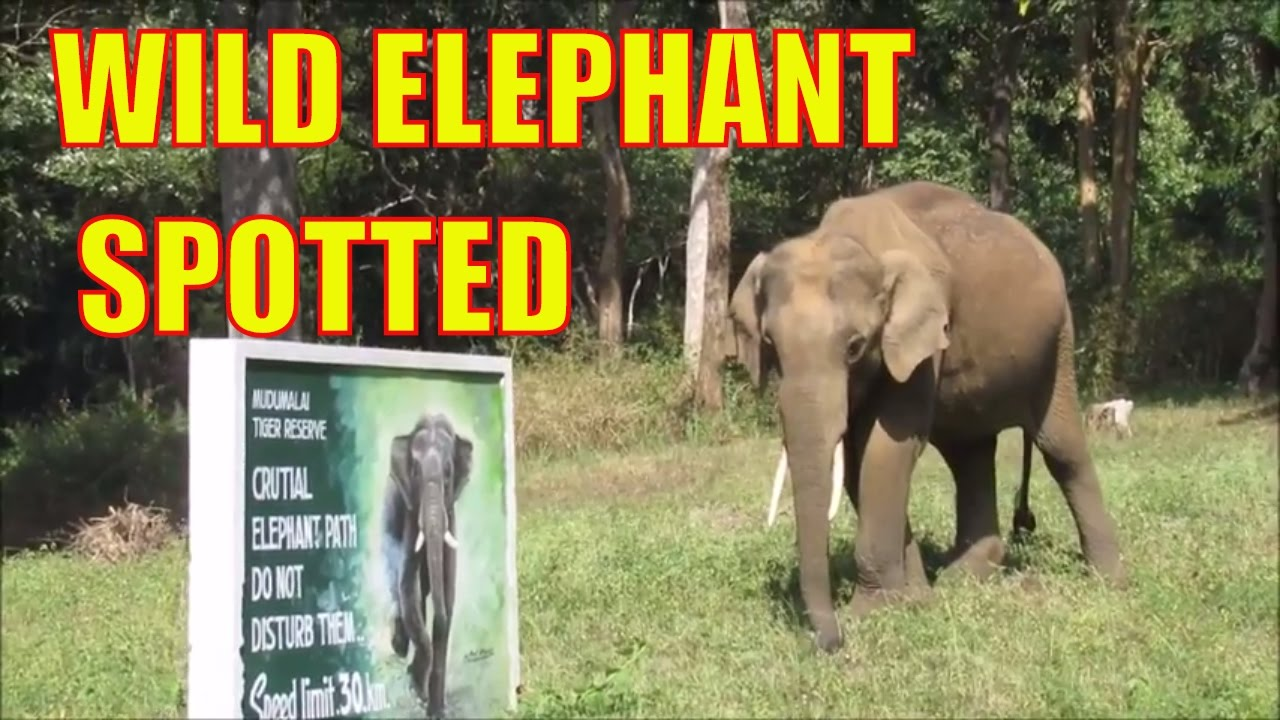 Mysore to Ooty Via Bandipur Tiger Reserve | Wild Elephant spotted